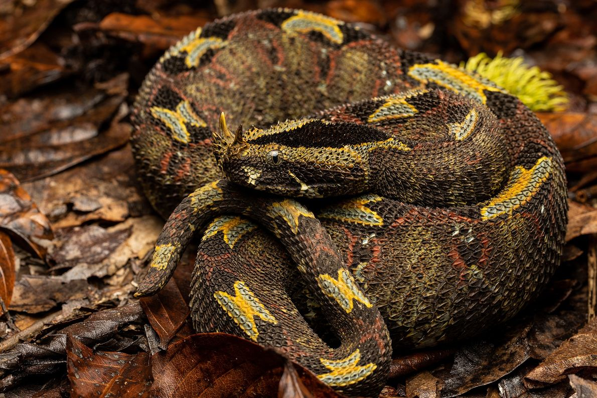The rhinoceros viper, at home in the forests of the Democratic Republic of the Congo, takes ...