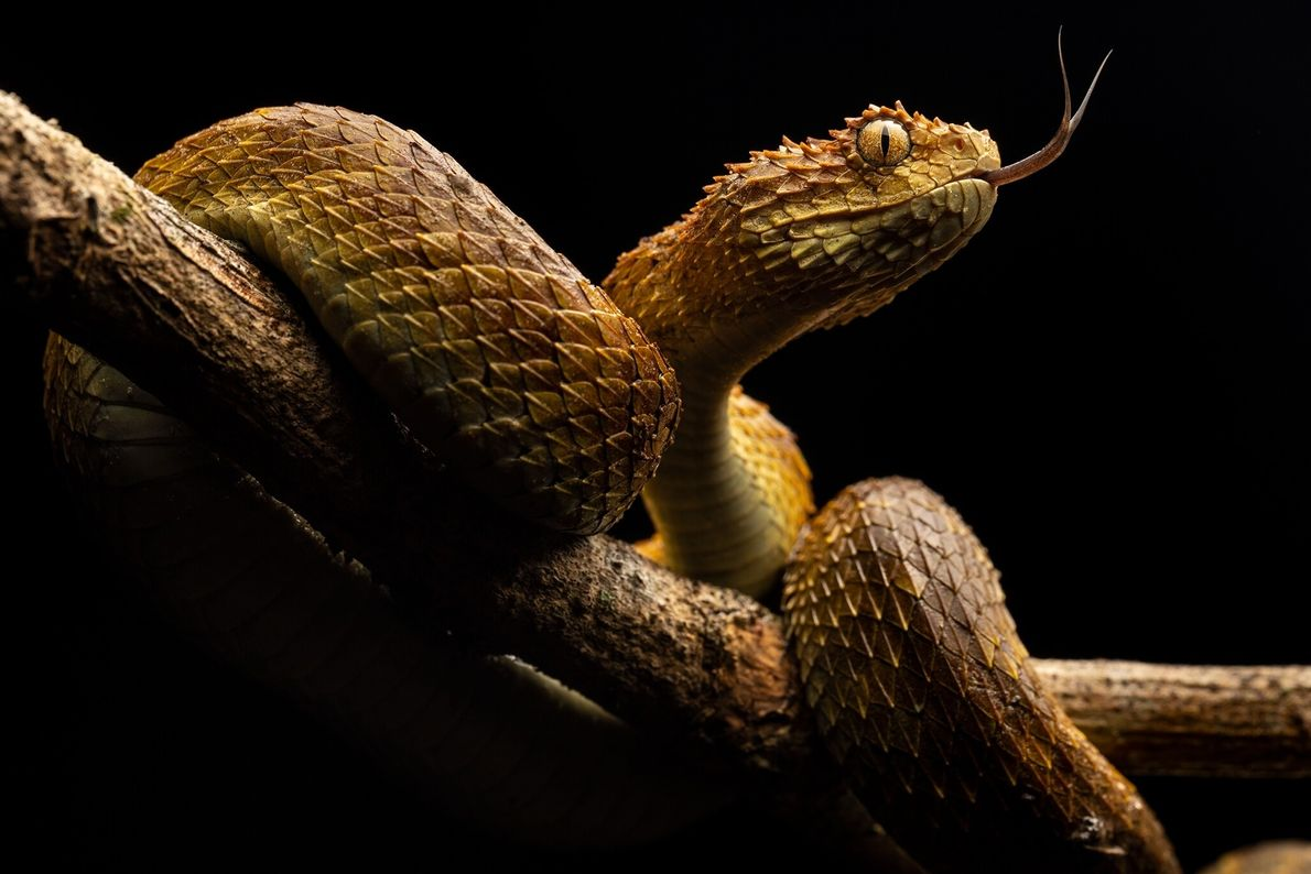 Flicking its tongue, a bush viper sniffs its surroundings. Venomous snakes kill some 30,000 people in ...