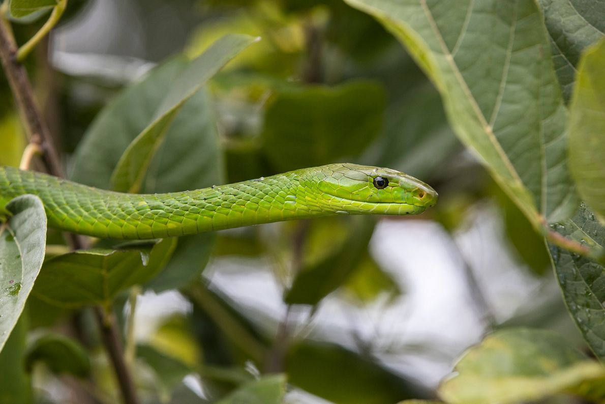 Agile and arboreal, the eastern green mamba—one of four deadly African mamba species—lives in the coastal ...