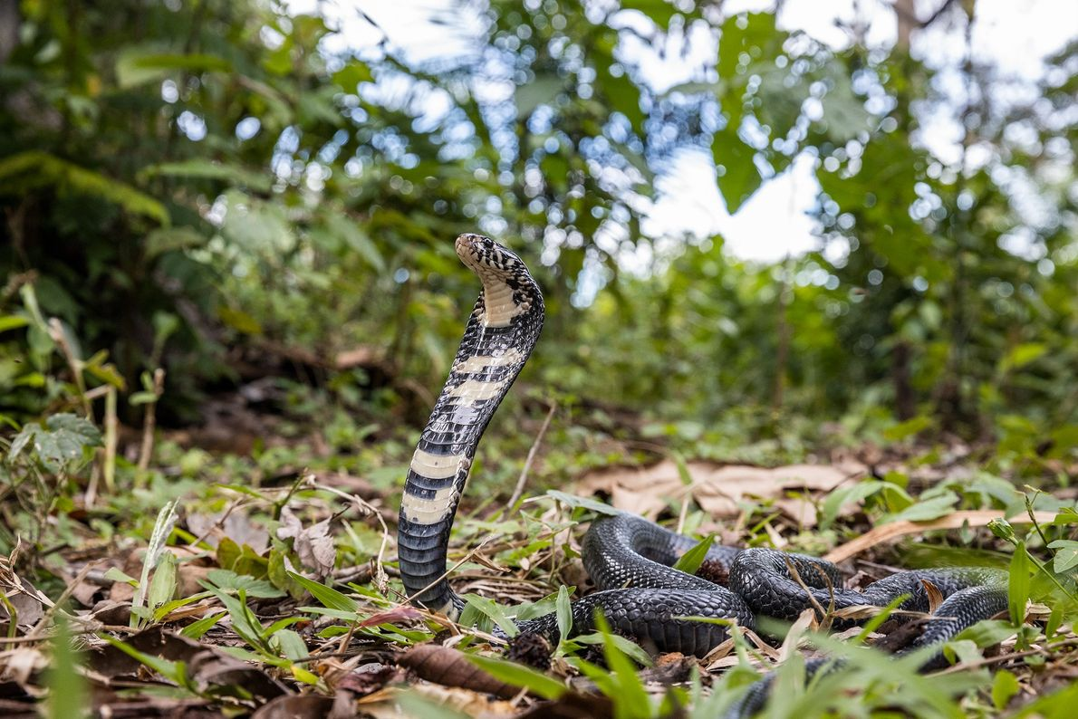 A forest cobra inflates its hood, a defensive posture, in the Democratic Republic of the Congo. ...