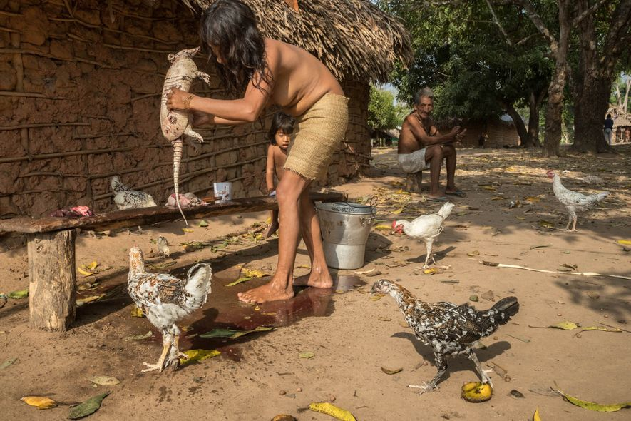 An Awá woman cleans and butchers an armadillo in the village of Posto Awá. Today most ...