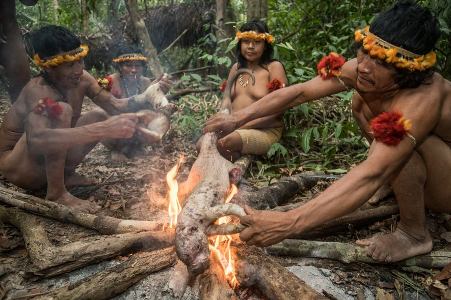 Awá hunters prepare to roast a porcupine while on a trek through the jungle. The Awá ...