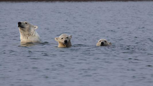 Wild Alaska: Polar bears take a swim