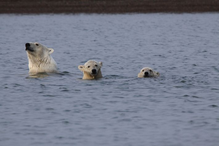 Wild Alaska: Polar bears take a swim