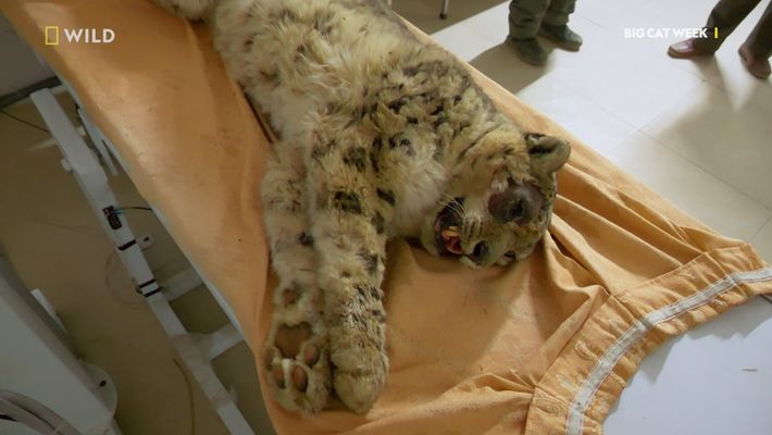 Big Cat Week on NatGeo Wild – Injured snow leopard found