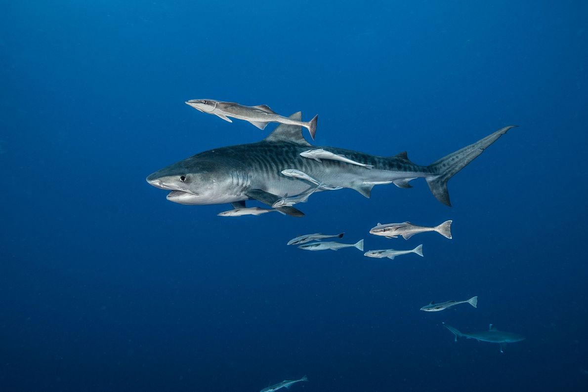 Above a reef deep in the Indian Ocean, a tiger shark is trailed by remoras. South ...