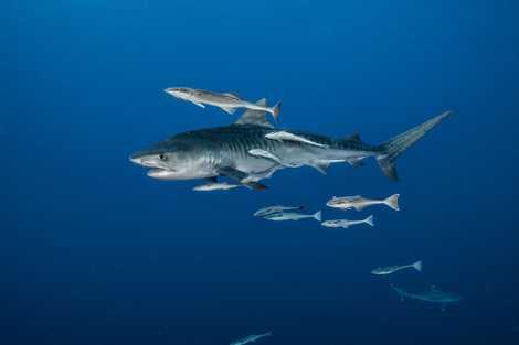 Giant tiger sharks eat backyard birds, surprising study reveals