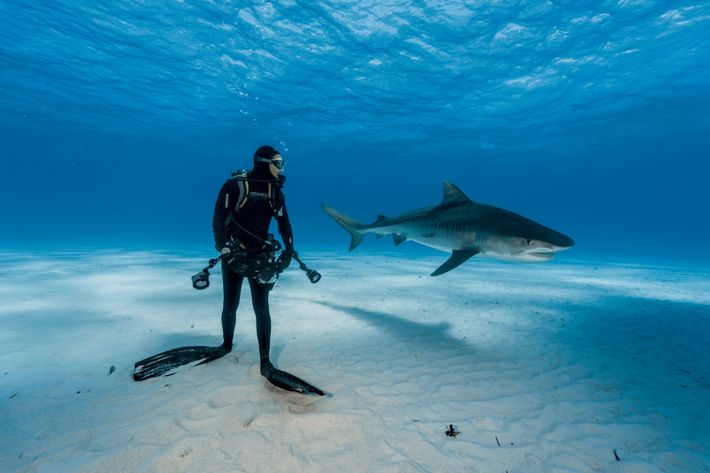 A diver keeps a close watch on a tiger shark in the Bahamas. But the scene ...