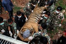 In 2016, 147 tigers were seized in a government raid of the Tiger Temple in Kanchuanaburi ...