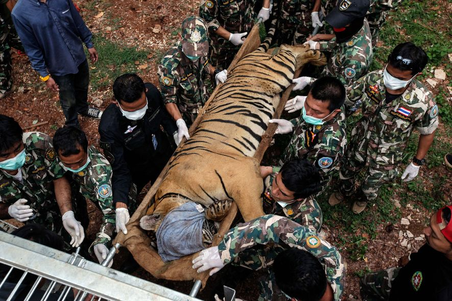 86 tigers rescued from Tiger Temple died while in government custody