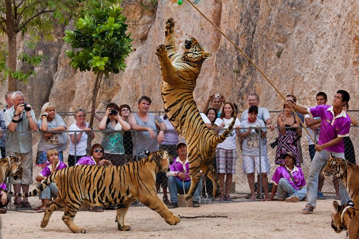 Tigers at the infamous facility were a major tourism draw for visitors who wanted to take ...