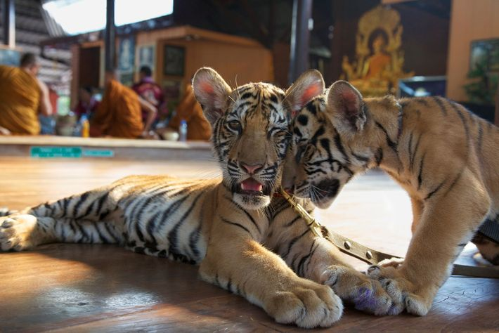 Visitors to the Tiger Temple paid to bottle-feed cubs, like the two pictured here.