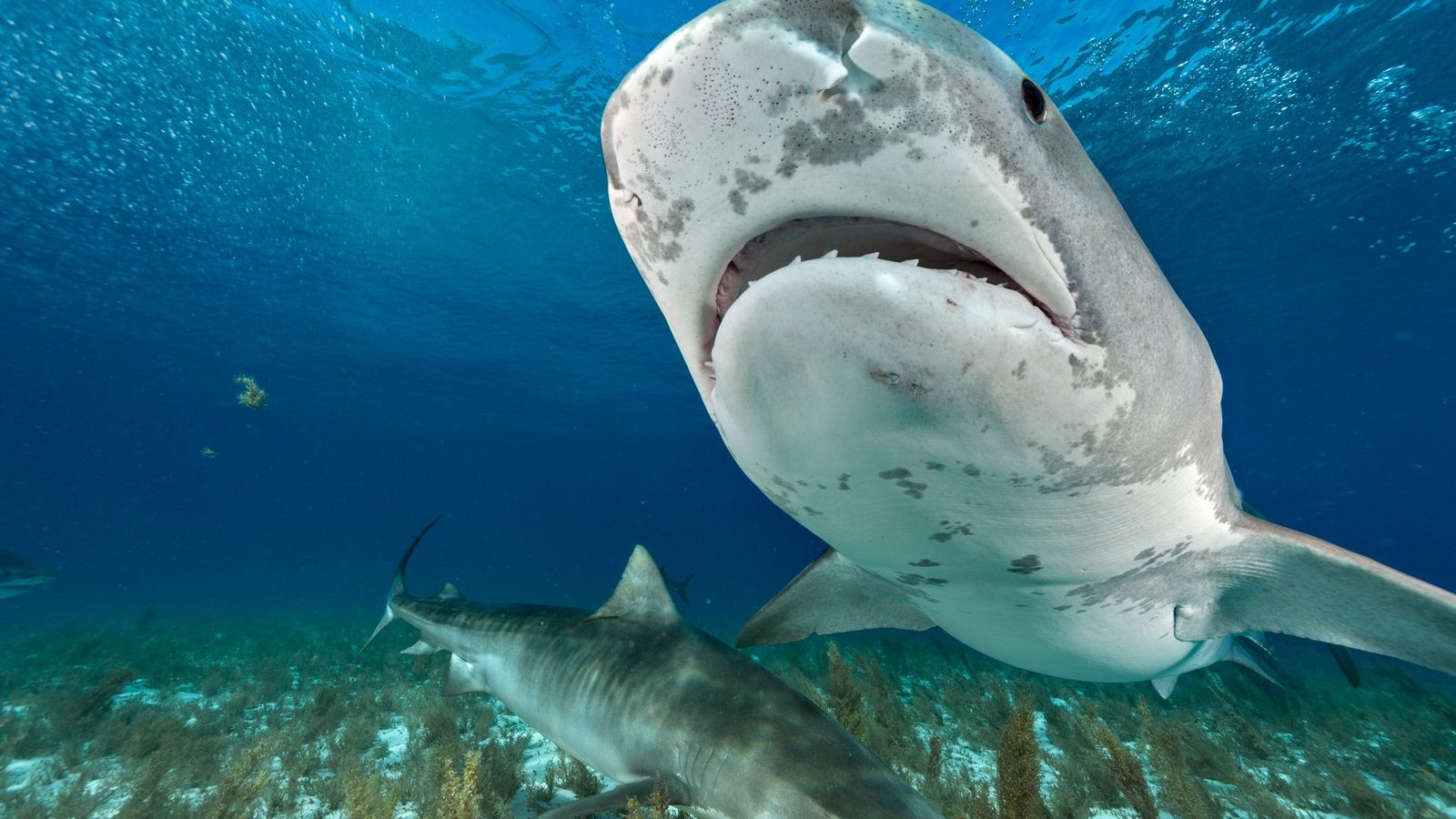 Tiger sharks prowl the waters of the northern Bahamas.