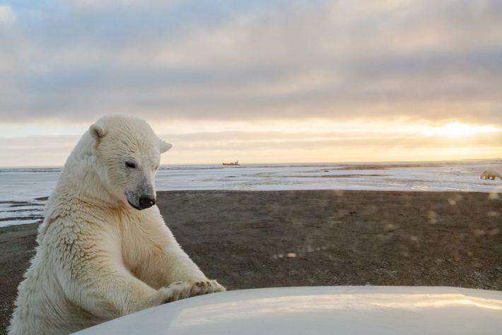 A polar bear inspects a car near Kaktovik, Alaska. Melting sea ice is driving more bears ...