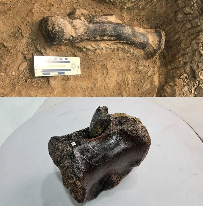 Images released by the exhibition team show bones such as this metatarsal bone (top) in situ ...
