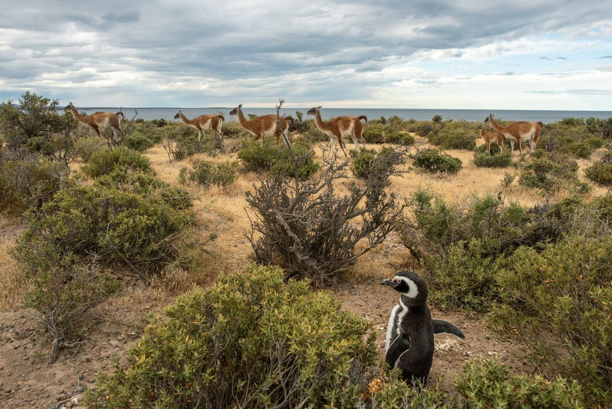 A Magellanic penguin appears unperturbed by a passing herd of guanacos in the Punta Tombo reserve ...