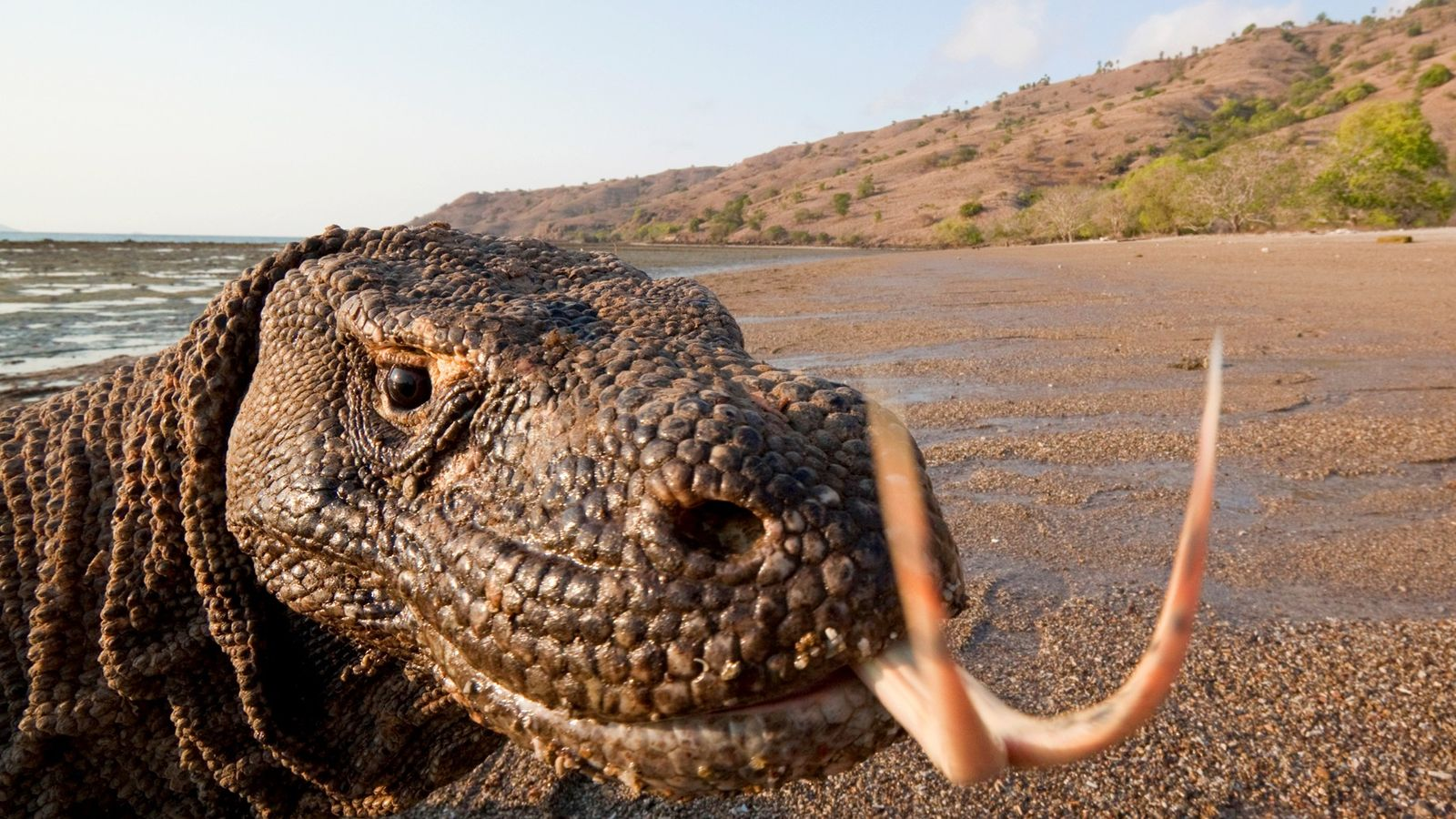 Komodo dragons, which can grow to be 10 feet long and more than 300 pounds, are ...