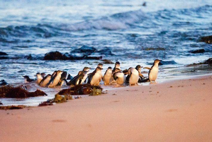 Little penguins, Phillip Island