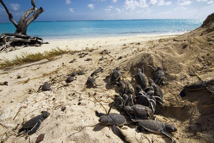 Hatchlings, Heron Island