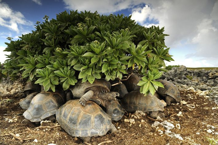 Tortoises jockey for shelter from the sun. They will cook in their shells if they remain ...
