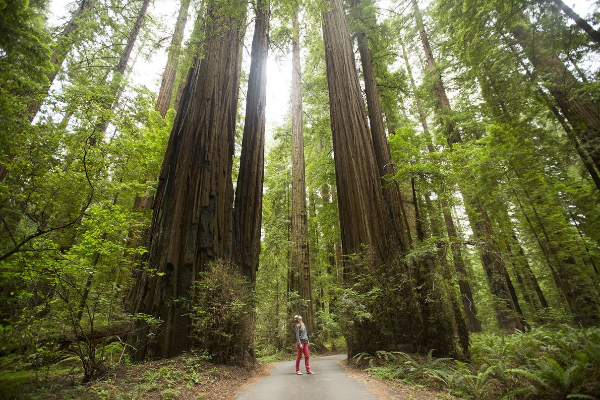 The California Federation of Women's Club Grove is located on the Avenue of the Giants, a ...
