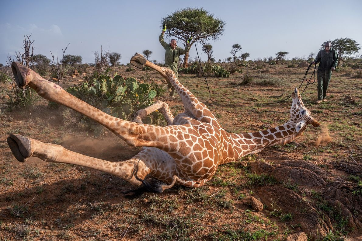 Kenyan wildlife experts approach a reticulated giraffe that has been tranquilized in the Loisaba Wildlife Conservancy. ...