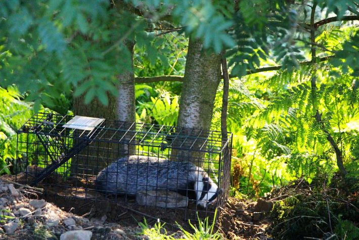 A badger in a humane trap for TB vaccination.