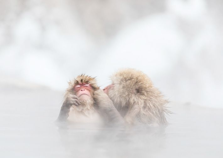A monkey entering a hot spring.monkeys was kissing hot.