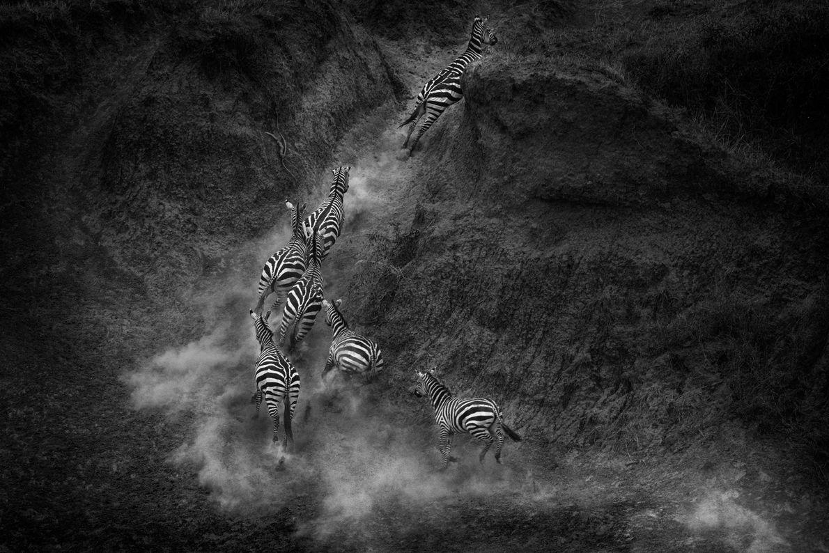 A herd of zebras flees the crocodile-covered banks of Kenya's Mara River.
