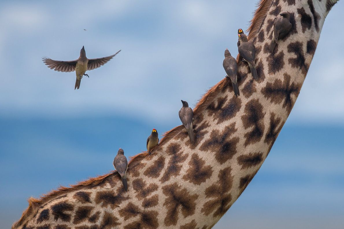 A group of oxpeckers sits atop a giraffe's back as they feed on the parasitic insects ...