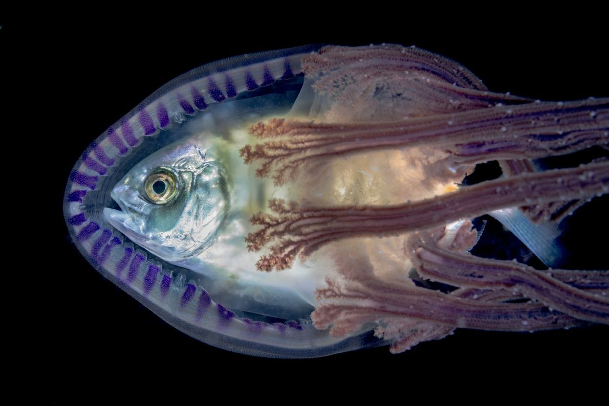 With nowhere to hide, some fish seek shelter inside jellyfish.