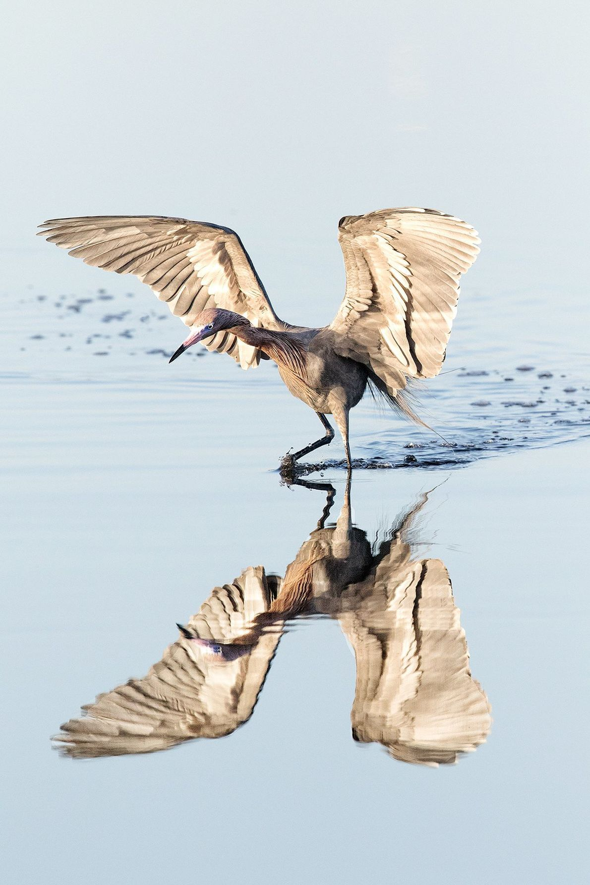 """A reddish egret lands in a shallow marshland off Merrit Island, Florida. """"We arrived early to ..."""