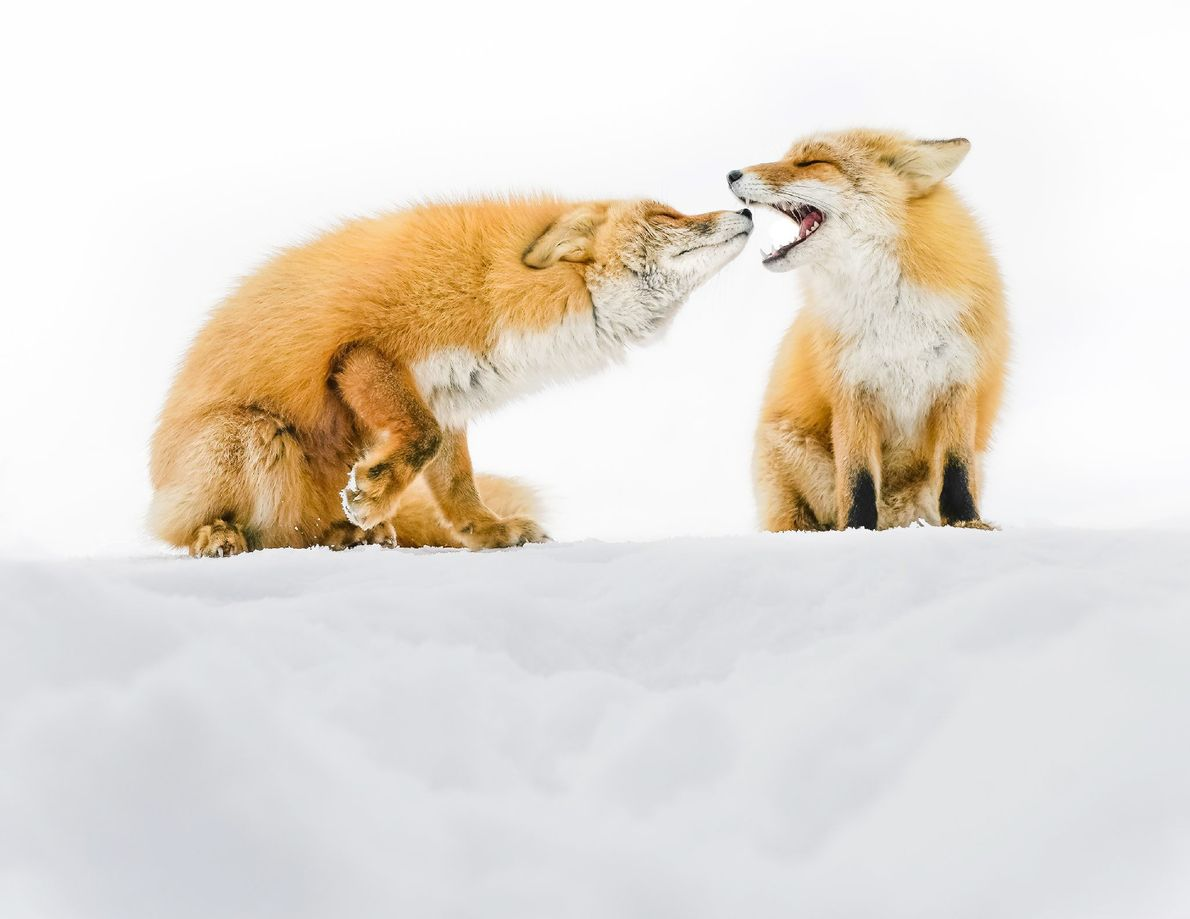 Two foxes sit on a snow-covered slope in Hokkaido, Japan.