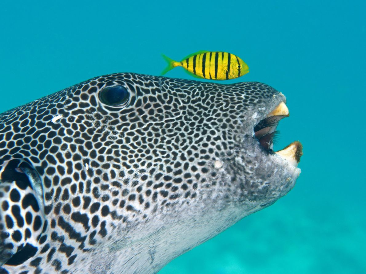 A pufferfish dwarfs a pilot fish as they scour the ocean floor for food.
