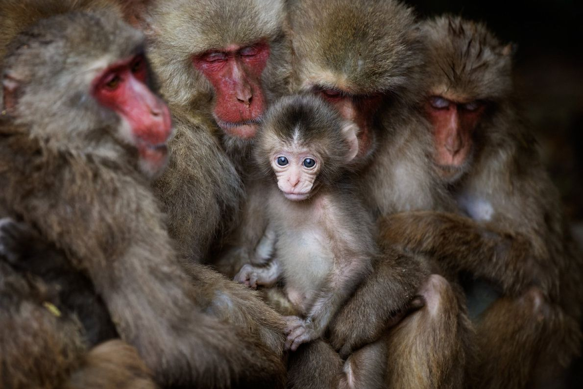 A group of Japanese macaques cuddle for warth on Shodoshima Island, Japan. During cold weather, 30 ...