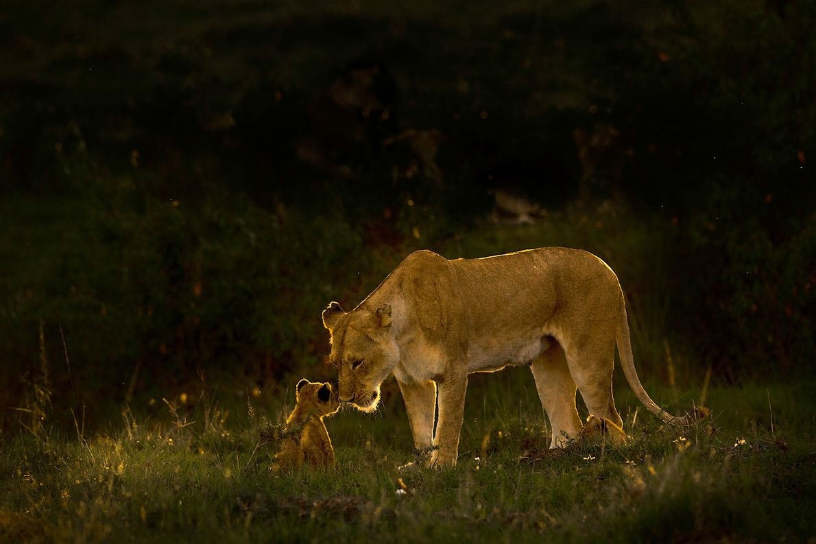 """A lioness shares a tender moment with her cub. """"The way she cared for them and ..."""