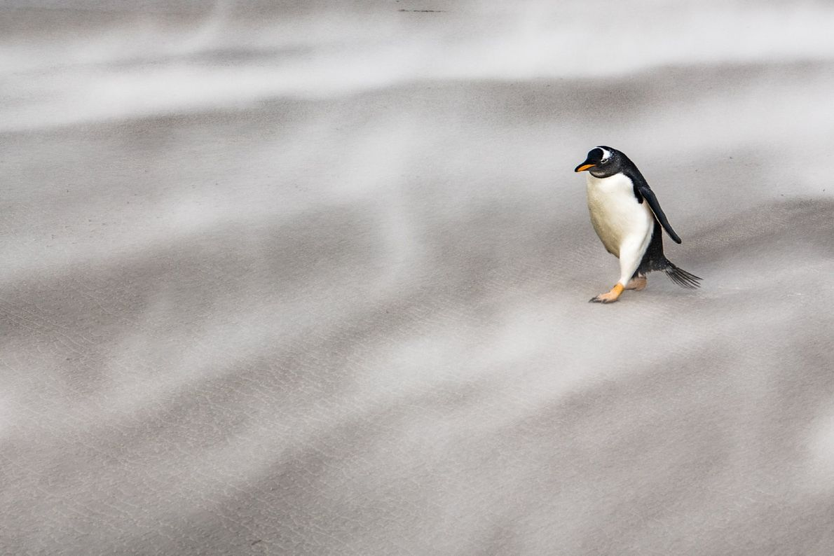 A solitary gentoo penguin walks against the fierce Antarctic winds.