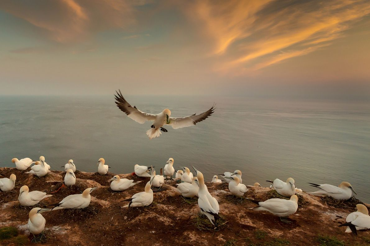 Photographer Andy Lubert used his wide angle lens to capture this northern gannet as it returned ...