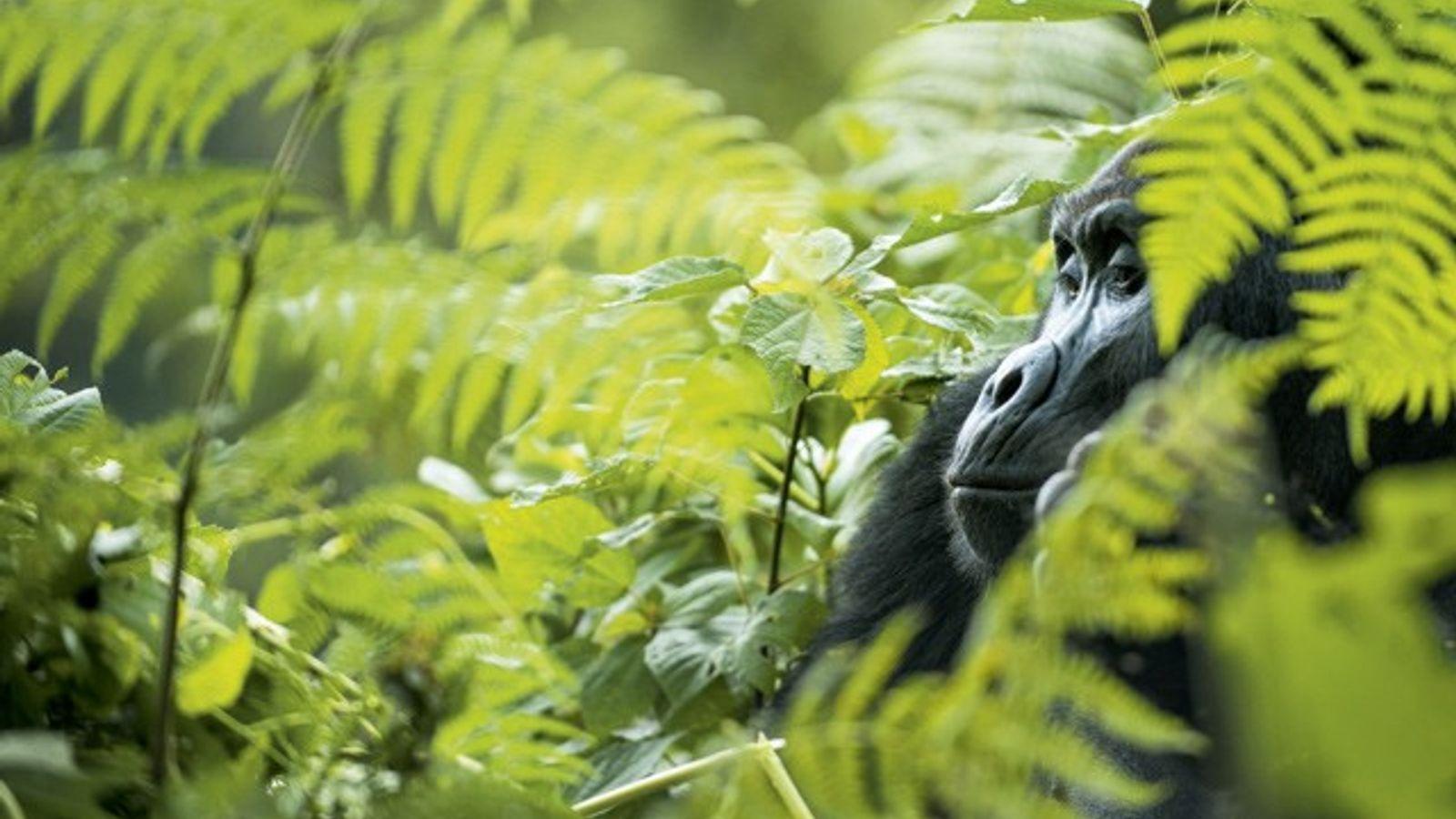 East African gorilla treks