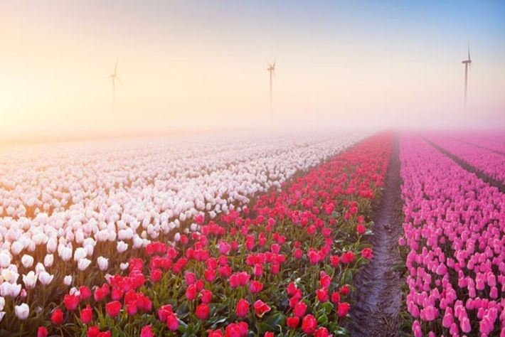 Field of Dutch tulips, with wind turbines in the distance