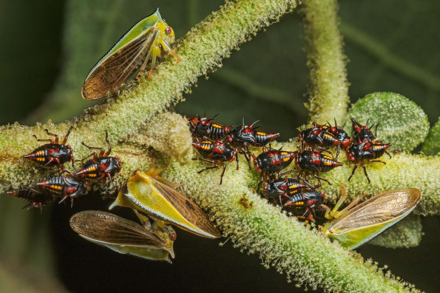 Known for their devoted parental care, treehopper mothers of the species  Alchisme tridentata watch over their ...