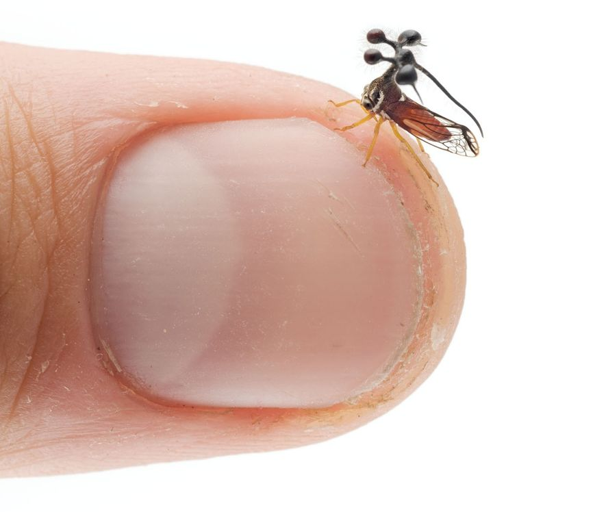 Bocydium reveals the minuscule size of many treehoppers.