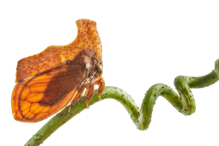 Treehoppers take on many disguises, all with the same purpose: to look like anything but a ...