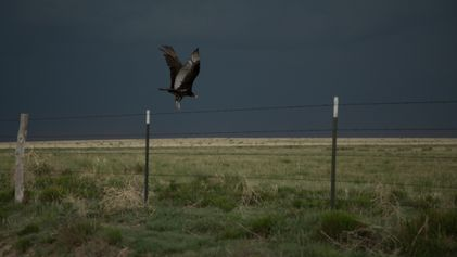 Lasers, cannons, effigies: The surprising science of shooing vultures away