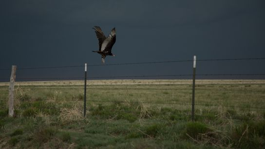 Turkey vultures, and their relatives, black vultures, can cause annoyance for humans. But scientists say they ...