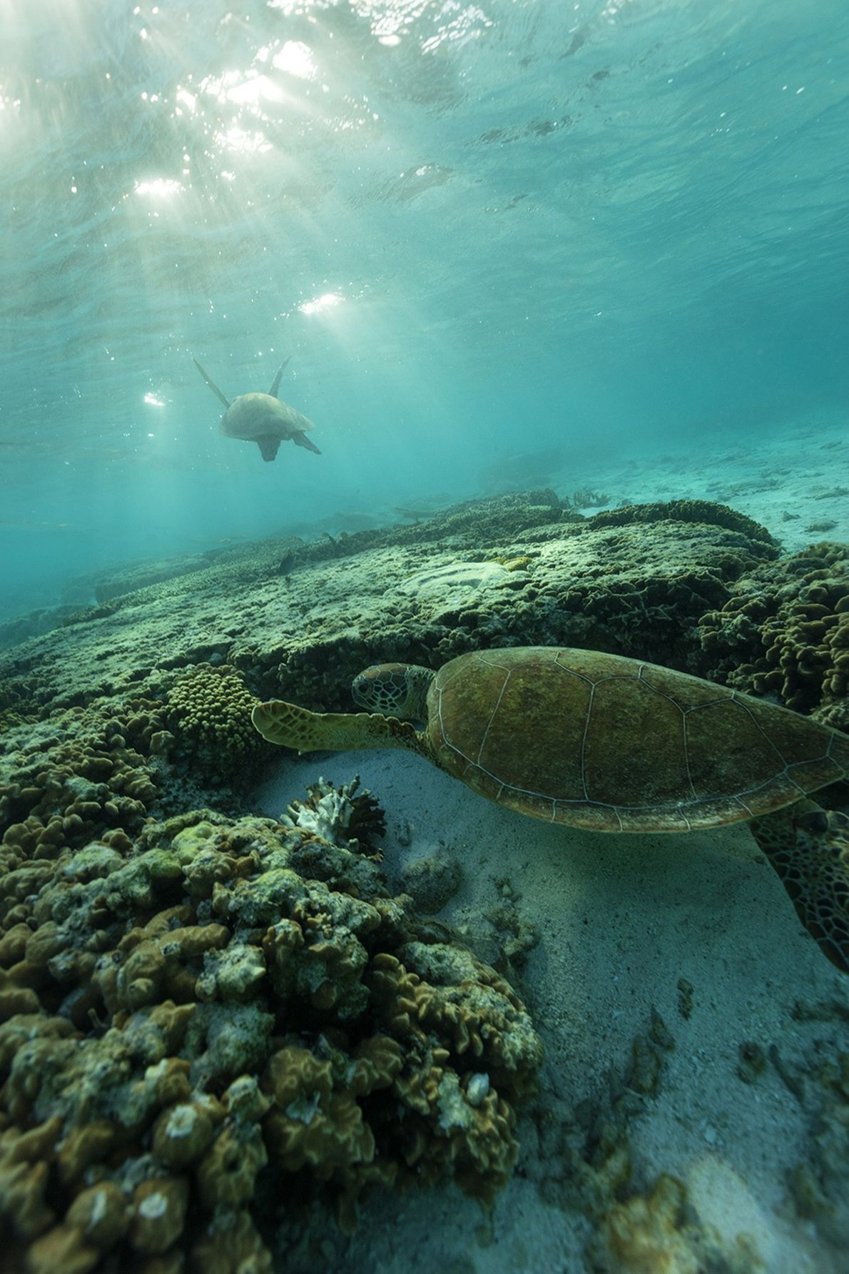 Sea turtles are seen swimming near Lady Elliot Island on a clear, autumn morning.