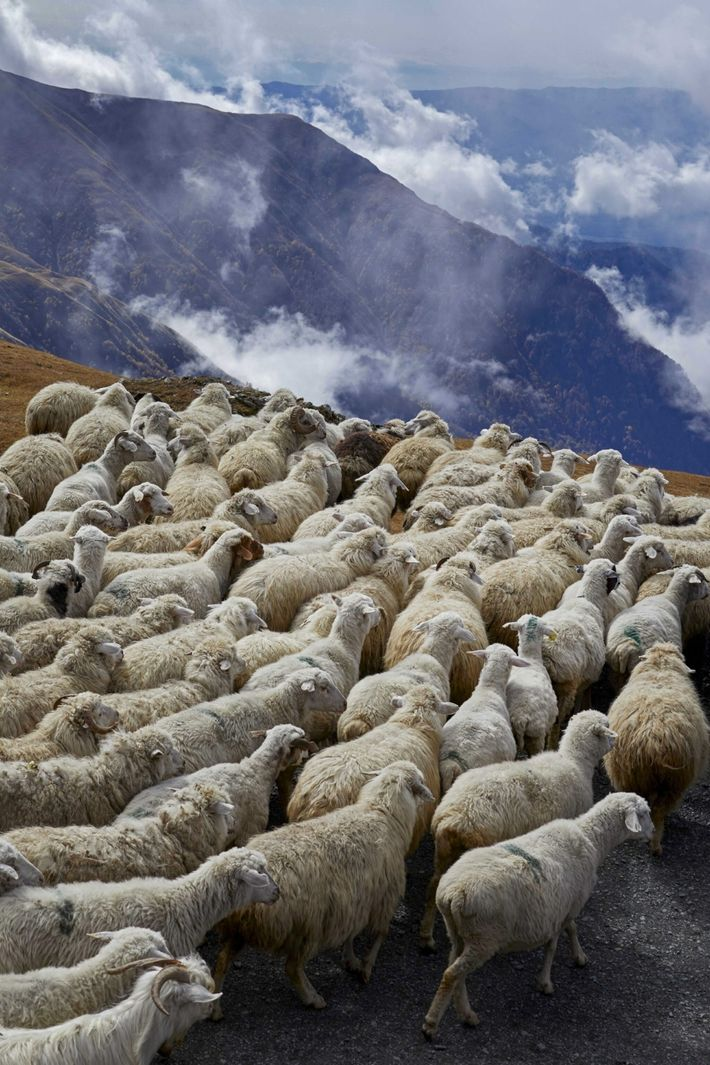 In early October, flocks leave the mountain pastures and descend to the plains. The shepherds have ...