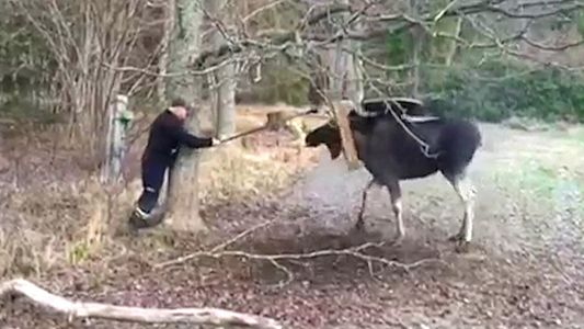 See a Moose Get Freed by a Swing-Sawing Swede