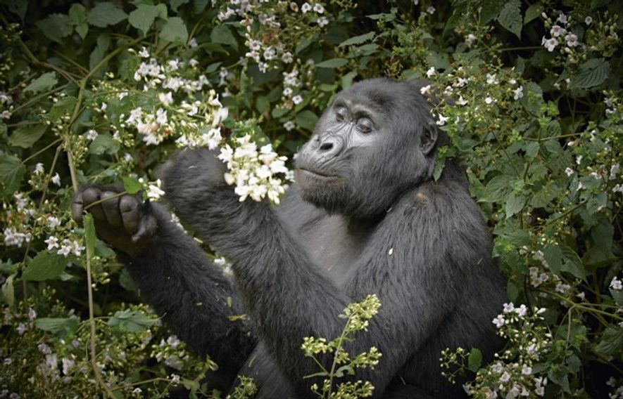 A mountain gorilla.