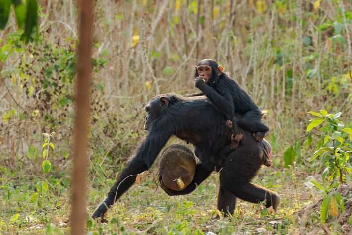 Chimps swipe corn, mangoes, papaya, and the favorite shown here, jackfruit, from villagers' fields and trees. ...